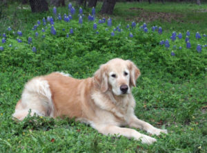 Mark's dog, Sandy, resting in the bluebonnets