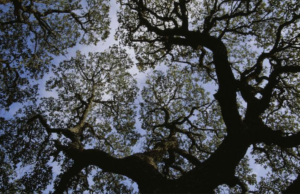 Looking Up into the Sycamore Tree and Beyond