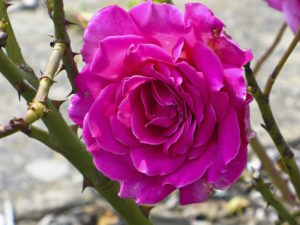 Photo of a rose surrounded by thorns.