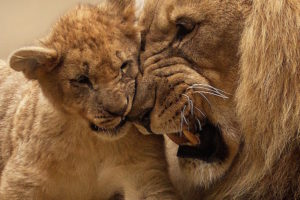 A lion cub with an adult male lion.
