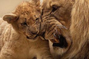 A lion cub with an adult male lion.