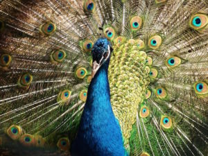 A male peacock displaying it's plumage.