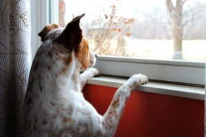 Dog at a window watching and waiting expectantly.