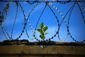A young plant growing among barbed wire.
