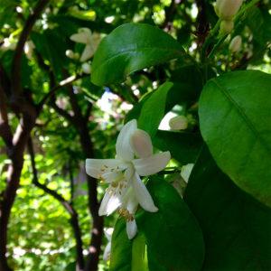 citrus-blossoms