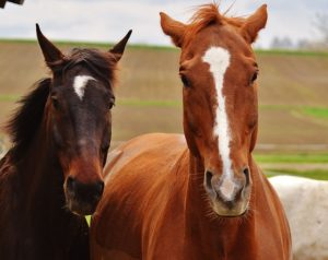 Two horses side by side, in likeness to each other.