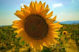 Sunflower in the sun.