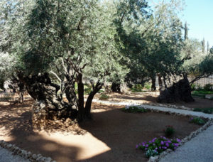 Olive trees in the Garden of Gethsemane. Photo used by permission from Mark D. Roberts.