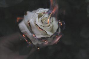 A white rose burning.