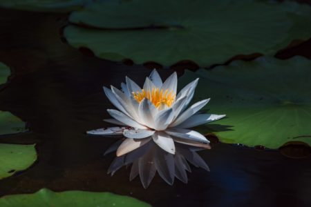 A water lily floating on a pool of water.