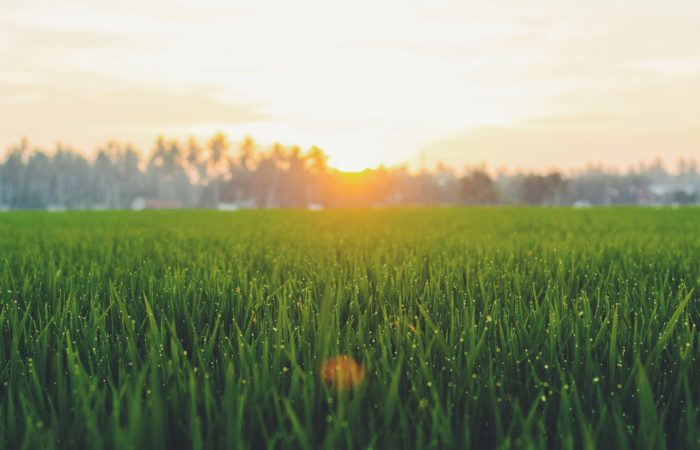 A green field at dawn
