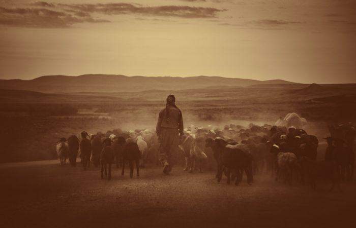 Iranian shepherd walking with sheep