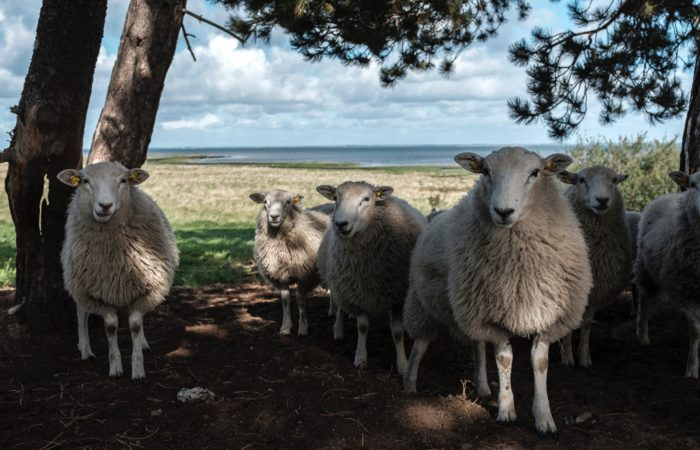 Sheep in a field by a lake