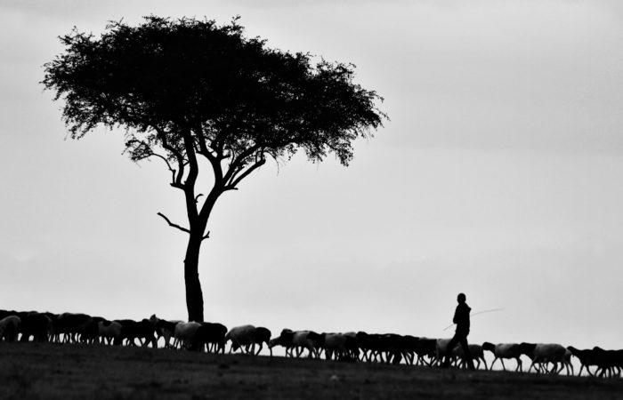 Masai shepherd with sheep