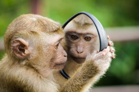 Little tan and white monkey looking at itself in the mirror