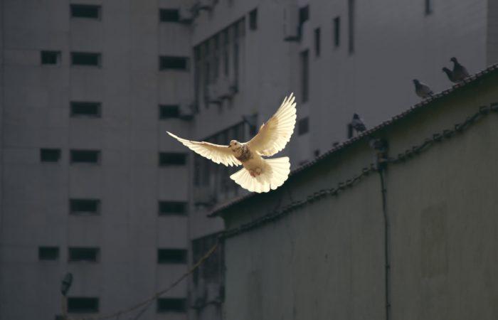 A dove in flight