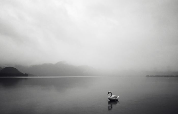 Black and white image of a swan sitting on still waters