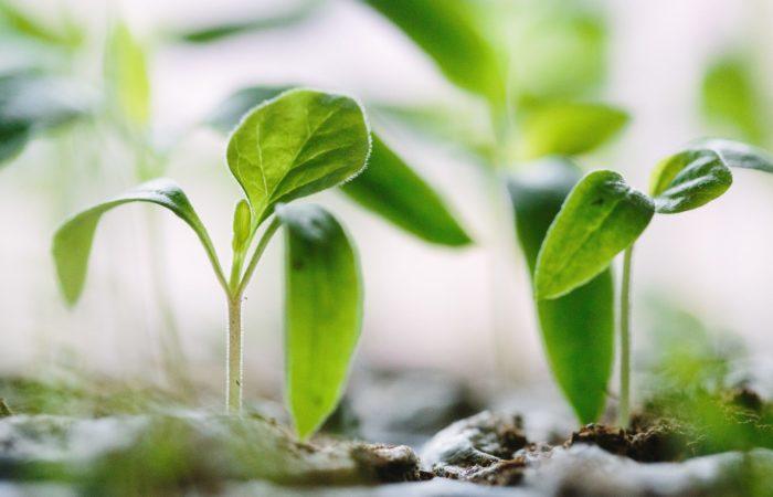 Green plants growing in soil