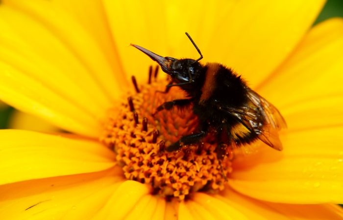 A bold yellow flower being pollinated by a bee
