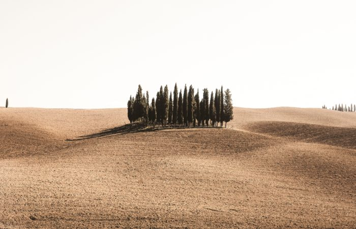 pine trees in a desolate field