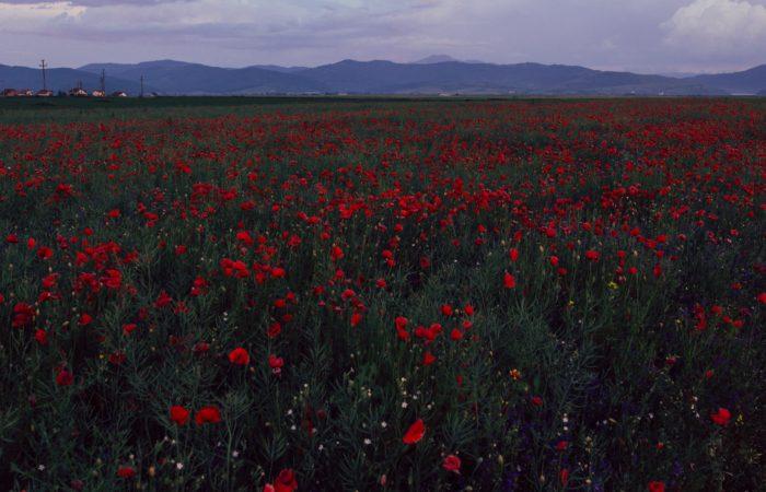 a field of red poppy flowers