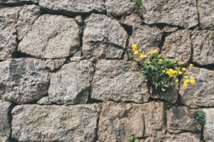 yelllow flowers growing out of stone wall