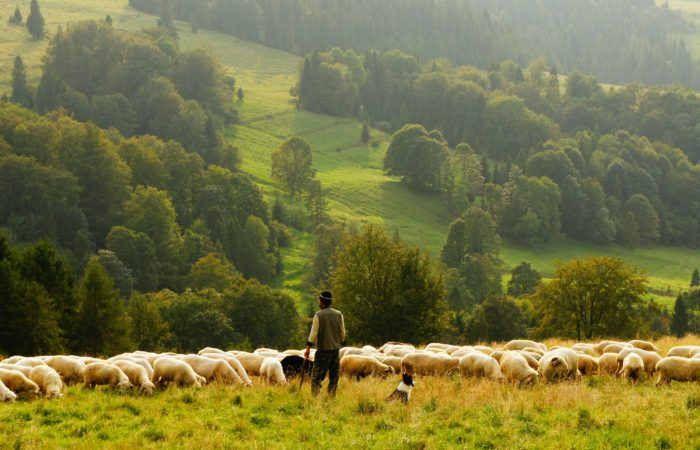 A shepherd with a flock of sheep on a green rolling hill