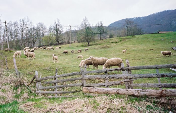 Sheep eating pasture behind a fence