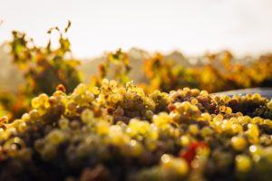 A field of grape vines