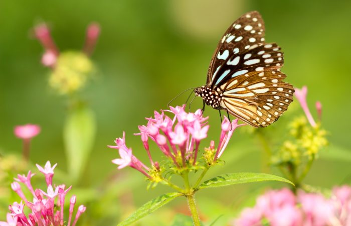 A butterfly on pink flowers in a field