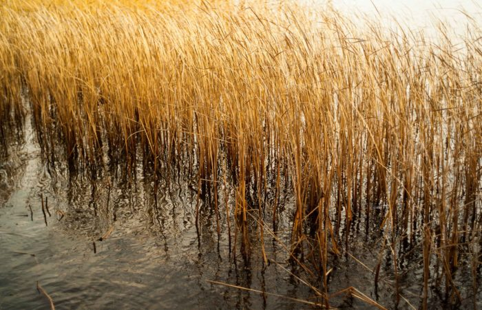Reeds growing out of the water