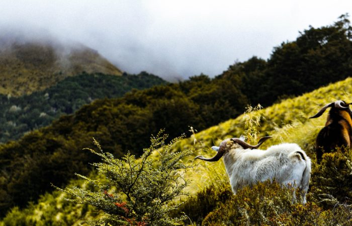 Two goats on a hillside