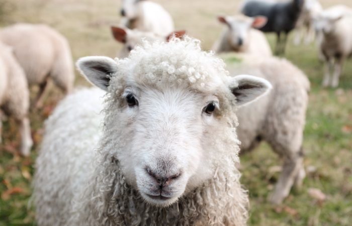 A herd of sheep, with one looking directly at the camera