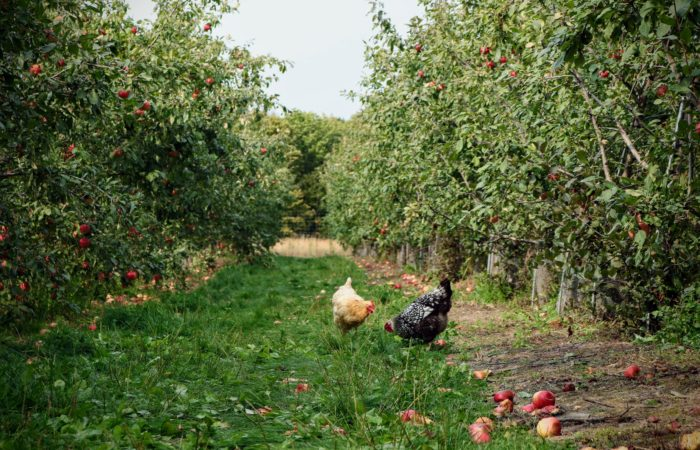 An apple orchard with a few chickens