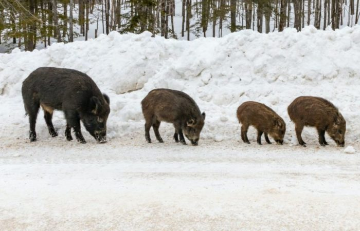 A herd of pigs in a snowy landscape