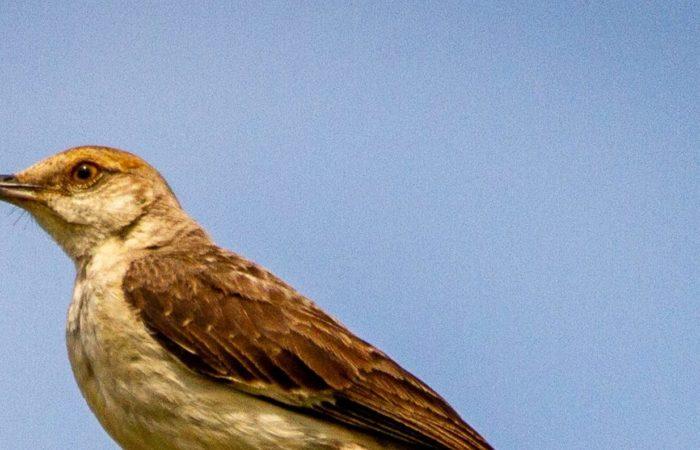A mockingbird sitting on top of a stick