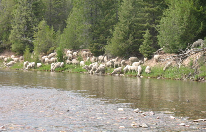 Sheep by water in Montana