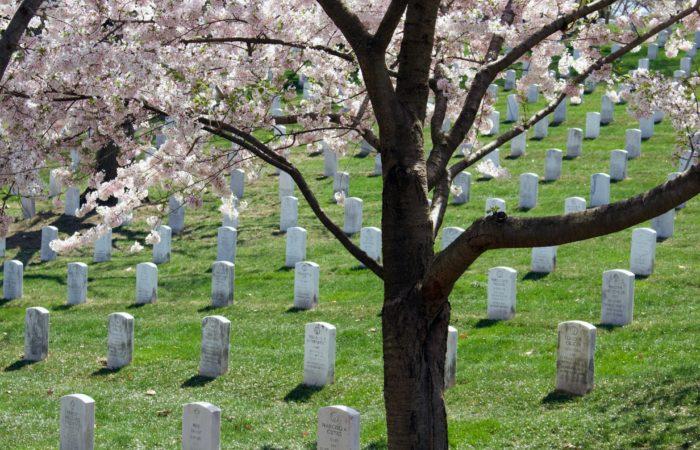 A cherry blossom tree in Arlington National Cemetery