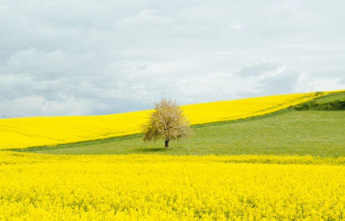 A tree in the middle of a yellow field