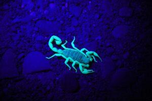 A scorpion in a fish tank under UV light, making it glow aqua