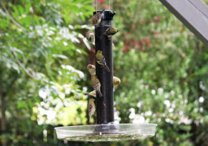 A number of goldfinches on Mark Roberts' birdfeeder