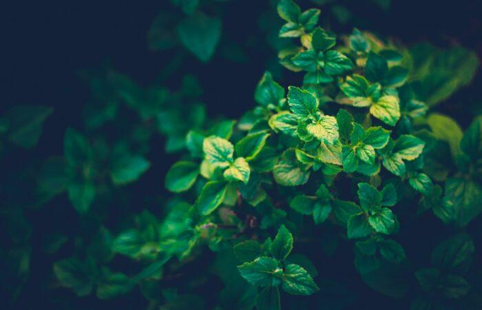 A green leafy bush in sunlight