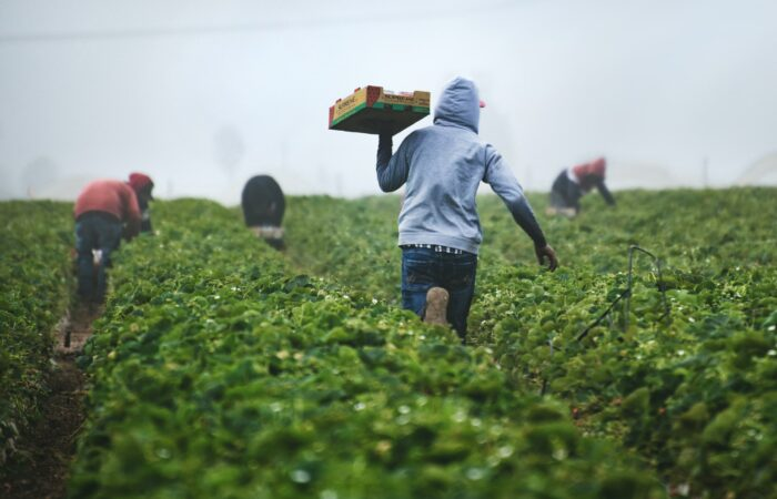 Three workers in hoodies picking boxes of strawberries, and one man in a hoodie carrying a filled box