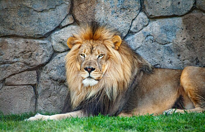 A majestic male lion sitting against a rock wall