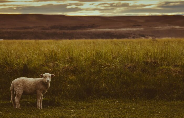 A lamb standing in a field at sunset